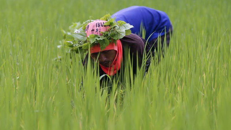 Asia Rice-Thai rates bounce to 7-yr high as virus limits exports from other hubs - Investing.com India