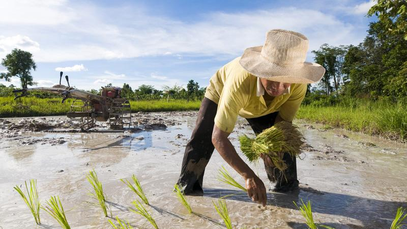 RPT-Asia Rice-Thai rates hit 4-month low, Vietnam jumps as heavy rains persist - Investing.com India