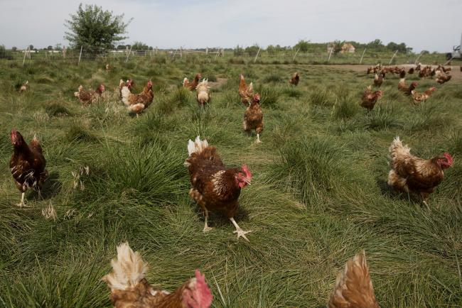 Corn's Big Plunge Helps Chicken Producers, Hurts Farm Equipment By Blo
