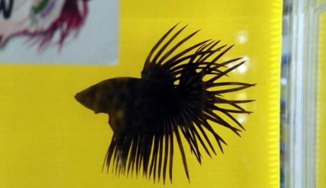 Kkp Gelar Kontes Ikan Cupang Sarana Penyaluran Hobi Dan Edukasi Oleh Warta Ekonomi Online