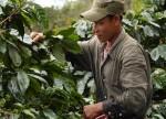 Colheita de café da Cooxupé avança para 77,84% do total