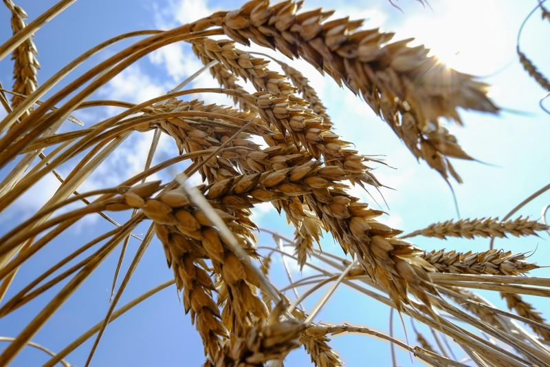 French wheat offered lowest at Egypt's GASC tender -traders By Reuters