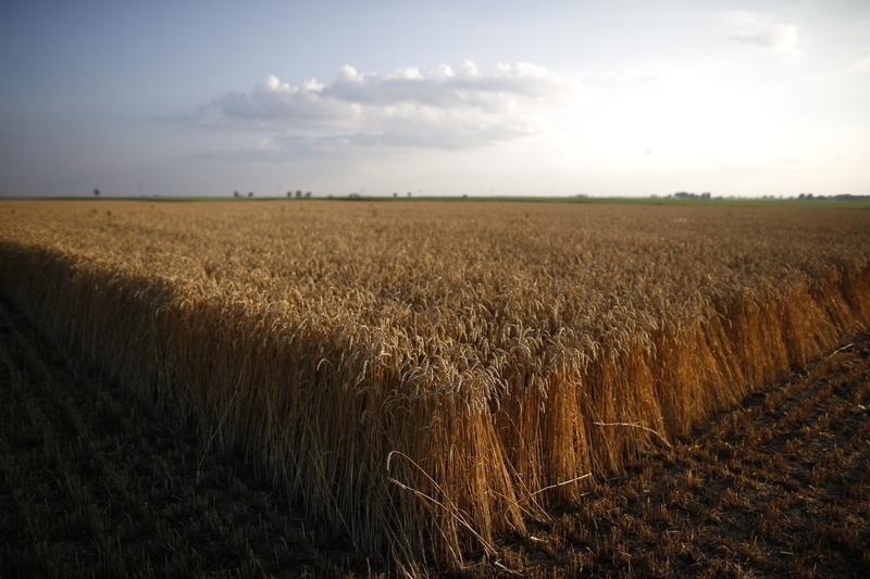مصر تشتري 345 ألف طن من القمح في مناقصة دولية للشحن في 1-10 أغسطس