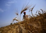 India's 2019 wheat output could fall from record on scanty rains