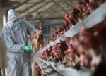 UPDATE 1-Philippines now free of H5N6 bird flu, but monitoring another strain