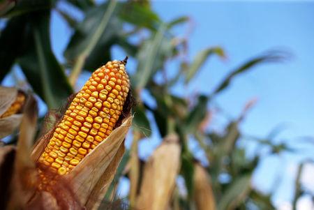 الجزائر تطرح مناقصة لشراء 20 ألف طن من الذرة و30 ألف طن من علف الصويا