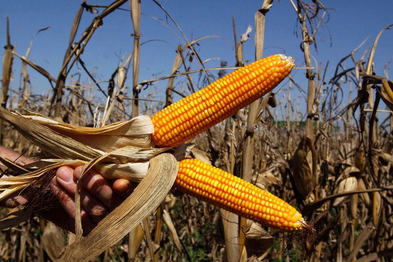 © Reuters.  Importadores do Irã compram mais de 500 mil t de milho do Brasil, dizem fontes