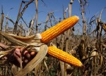 Canada feeds European corn appetite as tariff war shrinks U.S. sales