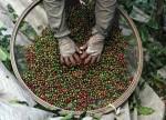 Colheita de café do Brasil atinge 88% e tem boa qualidade, diz Safras
