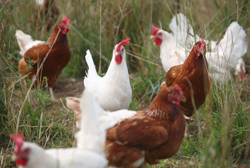© Reuters.  Bird flu found in wild birds in UK's Dorset but risk to humans, poultry low