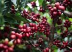 Der Skandal um den Kaffee-Preis und die Gier der Großkonzerne