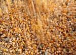 BRF enfrenta crescente competição por milho com indústria de etanol