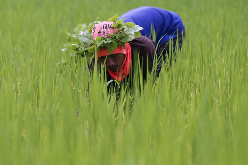 © Reuters.  Asia Rice-India prices rise as demand from Bangladesh offsets high supply