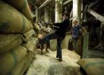 कमजोर माँग पर भारतीय चावल मे गिरावट बांग्लादेश मे चक्रवात से खेतो को नुकसान पंहुचा