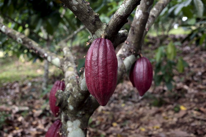 © Reuters.  SOFTS-NY cocoa hits 4-1/2 month low as crop outlook brightens