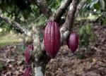Cacao en Nueva York sube a máximo en un mes, azúcar baja