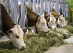 Росстат: производство крупного рогатого скота в сентябре вышло в лидеры по темпам роста на мясном рынке РФ