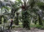 भारत व्यापार निकाय परिष्कृत ताड़ के तेल आयात पर प्रतिबंध चाहता है