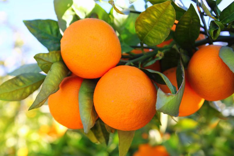 Com grande safra, estoque de suco de laranja do país saltará após mínima histórica