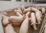 Estoques de porcas reprodutoras na China aumentam pela primeira vez em 19 meses