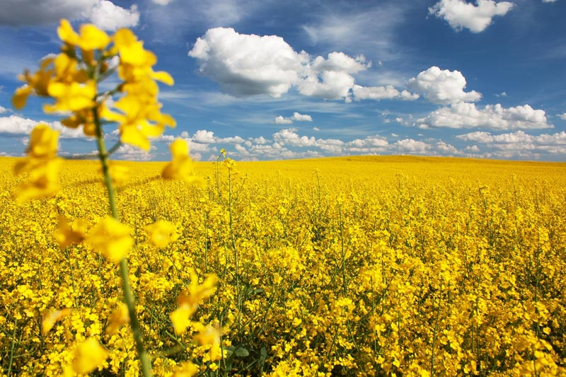 Rapeseed Squeeze Has Canada Eyeing EU Biofuel Amid China Spat By Bloom