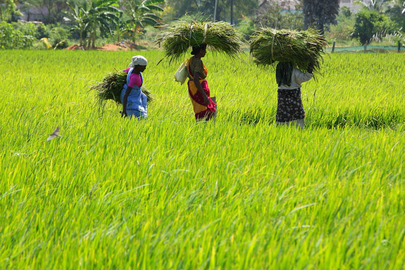 Asia Rice-Thai prices supported by government policies; Indian rates ease