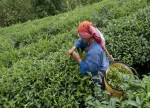 UPDATE 2-Russia restricts tea supplies from Sri Lanka after finding beetle