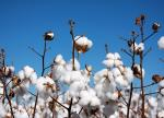 Cotton futures jump over 2 pct on mill fixations, short-covering