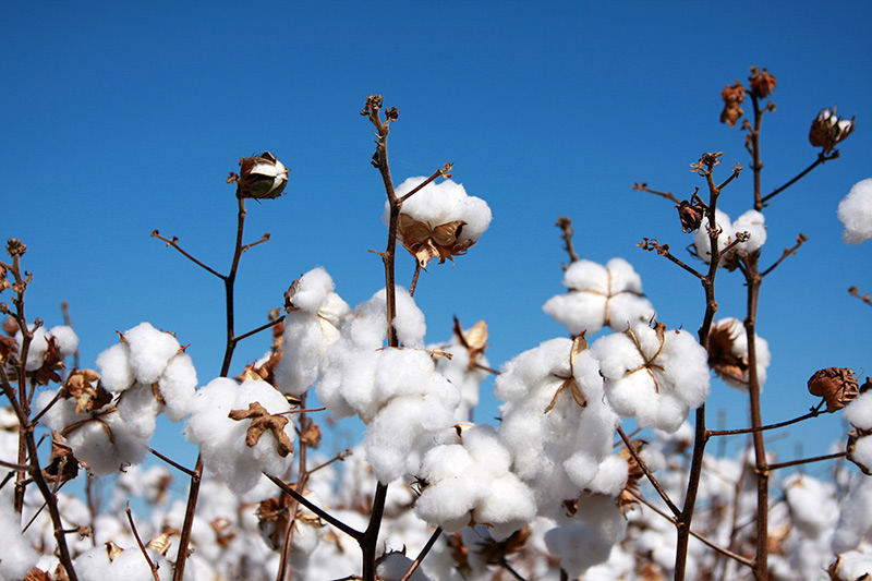 ICE cotton futures down 1 percent on producer selling