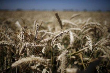 أسعار عقود القمح الامريكي تنهي العام منخفضة أكثر من 20 بالمئة