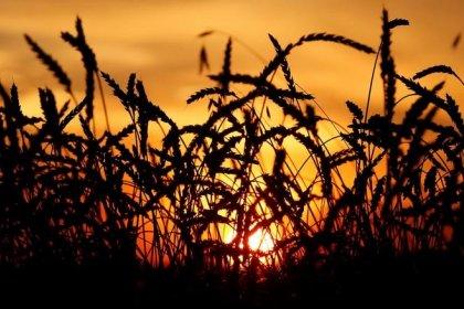 استقرار سعر القمح الروسي وسط تعاملات هادئة