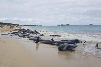 Près de 150 cétacés meurent échoués sur les côtes australiennes