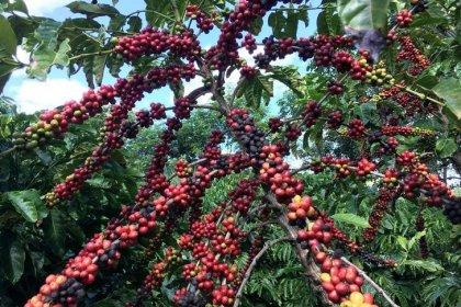 Colheita de café avança no Brasil com melhora climática, diz Cepea