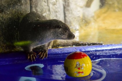 Sochi 'oracle' otter sees Russian loss to Uruguay, German comeback