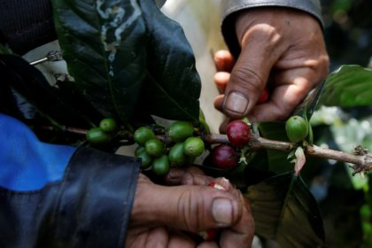 Indonesia's growing thirst for coffee drains premium bean supplies