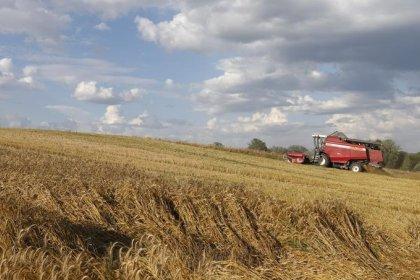 Белоруссия ожидает урожай зерна в 2018 году на 450.000 тонн меньше, чем в 2017-м