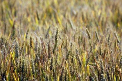 Paraná vê mais áreas de trigo em situação ruim e deve revisar safra