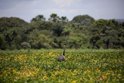 Chuvas indicam alívio para lavouras de soja ressecadas do Paraná