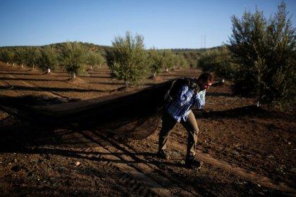 Los aranceles amenazan el sustento de miles de olivareros españoles