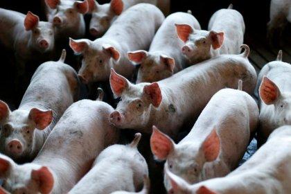 Com forte demanda chinesa, Brasil exporta recorde de carne suína em 2019, diz ABPA