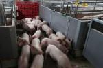 باحثون صينيون يحذرون من فيروس جديد في الخنازير يمكن أن يتحول إلى جائحة بين البشر