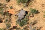 بوتسوانا تحقق لتحديد سبب نفوق 275 فيلا بشكل غامض