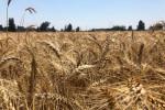 مجلس الوزراء: مصر تهدف لزراعة 3.5 مليون فدان بالقمح في الموسم الجديد