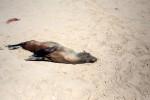 Plus de 7.000 cadavres de phoques échoués en Namibie