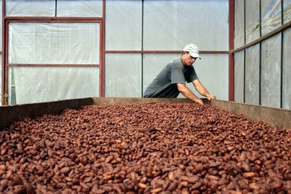 As climate change threatens CentAm coffee, a cocoa boom is born
