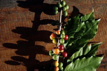 Preço e indefinição sobre safra 2018 prejudicam oferta de café no Brasil