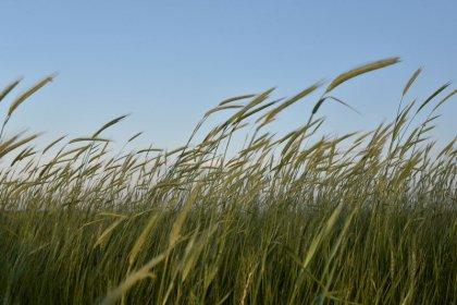 Seca no Paraná ainda preocupa mais que geadas, diz Deral sobre milho e trigo