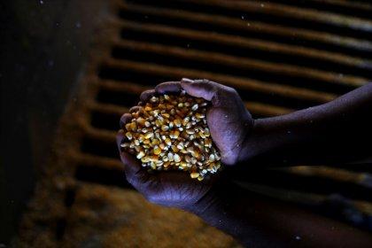Deral corta estimativa para segunda safra de milho do Paraná para 10 mi t