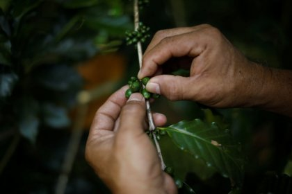 In El Salvador, coffee farmers turn to bourbon beans after blight