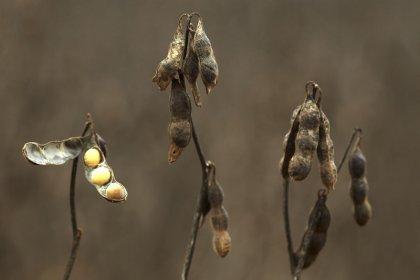 Plantio de soja 18/19 do Paraná tem início mais precoce em anos em meio a chuvas